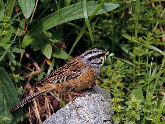 oiseaux-du-mercantour-patagon_009