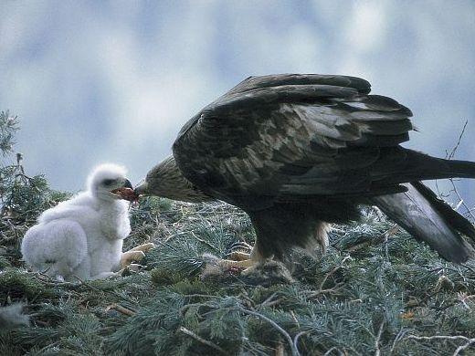 oiseaux-du-mercantour-patagon_005