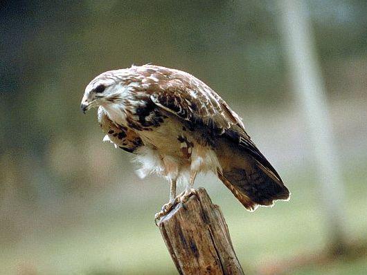 oiseaux-du-mercantour-patagon_012