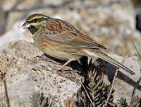 oiseaux-du-mercantour-patagon_010