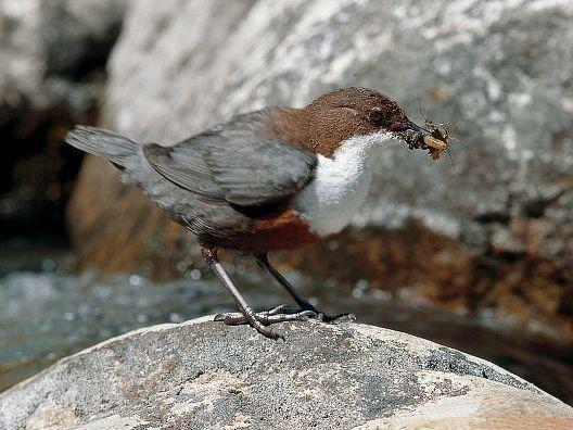 oiseaux-du-mercantour-patagon_018