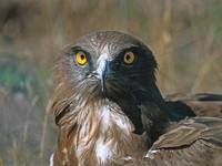oiseaux-du-mercantour-patagon_019