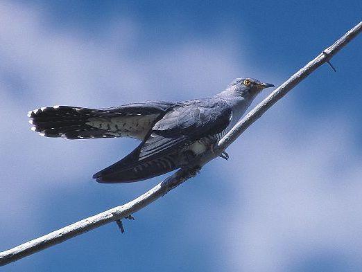 oiseaux-du-mercantour-patagon_020