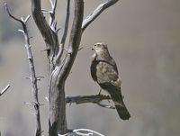 oiseaux-du-mercantour-patagon_021