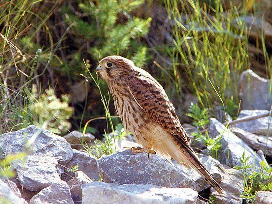 oiseaux-du-mercantour-patagon_023