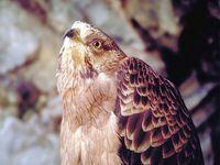 oiseaux-du-mercantour-patagon_008