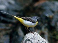 oiseaux-du-mercantour-patagon_007