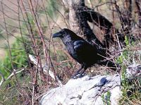 oiseaux-du-mercantour-patagon_027