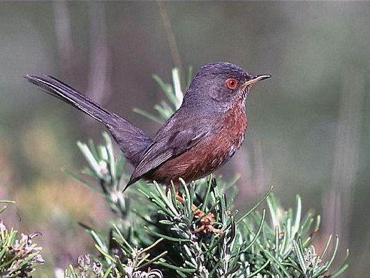 oiseaux-du-mercantour-patagon_028