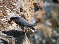oiseaux-du-mercantour-patagon_022