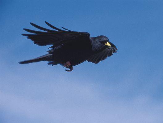 oiseaux-du-mercantour-patagon_014