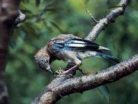 oiseaux-du-mercantour-patagon_029