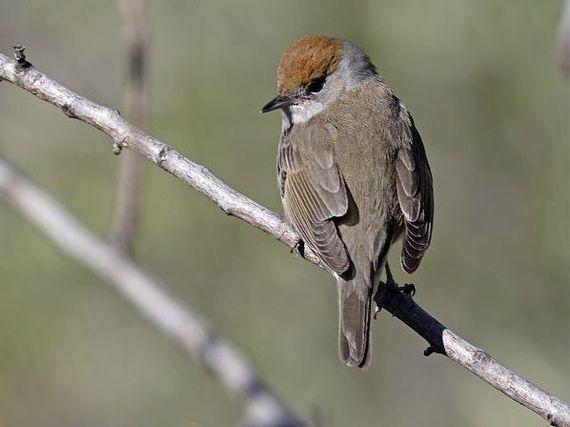 oiseaux-du-mercantour-patagon_025