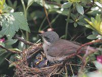 oiseaux-du-mercantour-patagon_026