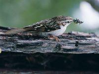 oiseaux-du-mercantour-patagon_031