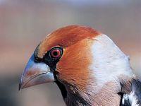 oiseaux-du-mercantour-patagon_034