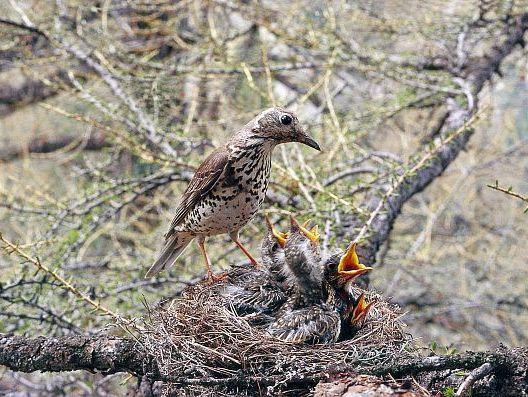 oiseaux-du-mercantour-patagon_032