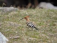 oiseaux-du-mercantour-patagon_041