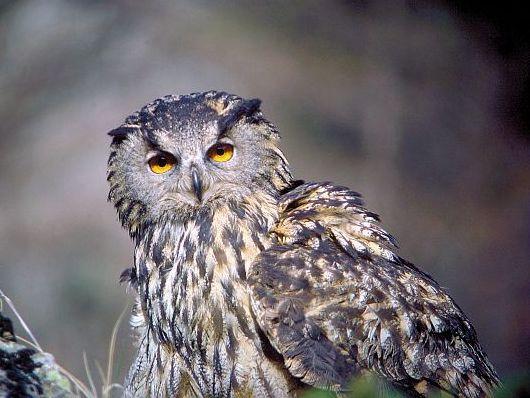 oiseaux-du-mercantour-patagon_038