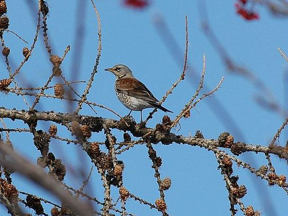 oiseaux-du-mercantour-patagon_033