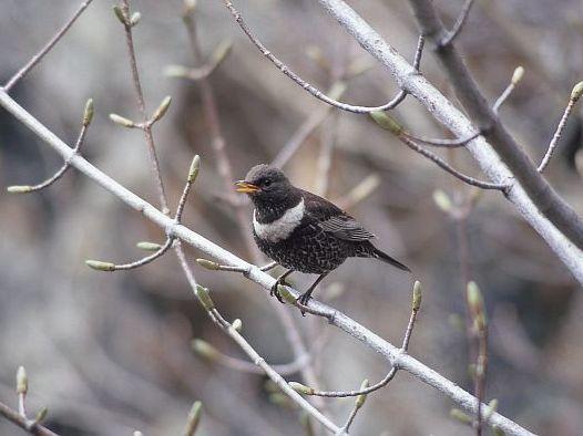 oiseaux-du-mercantour-patagon_047