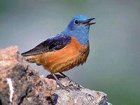 oiseaux-du-mercantour-patagon_048