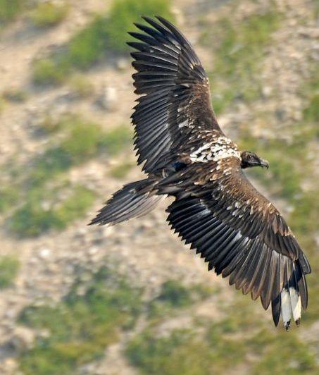 oiseaux-du-mercantour-patagon_035
