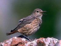 oiseaux-du-mercantour-patagon_049