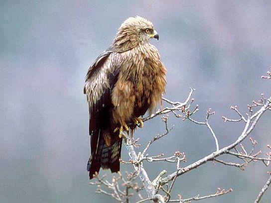 oiseaux-du-mercantour-patagon_054