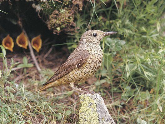oiseaux-du-mercantour-patagon_057