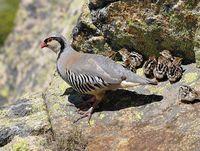 oiseaux-du-mercantour-patagon_058