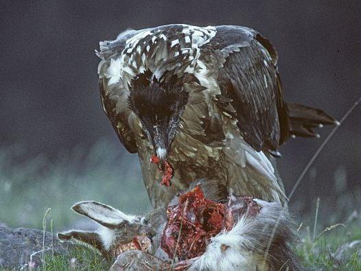 oiseaux-du-mercantour-patagon_036