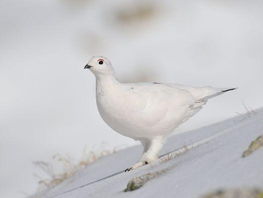 oiseaux-du-mercantour-patagon_042