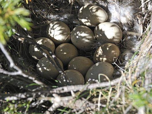 oiseaux-du-mercantour-patagon_059