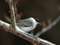 oiseaux-du-mercantour-patagon_050