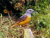 oiseaux-du-mercantour-patagon_056