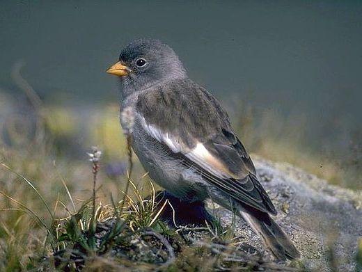 oiseaux-du-mercantour-patagon_060