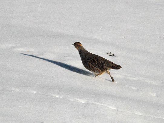 oiseaux-du-mercantour-patagon_061