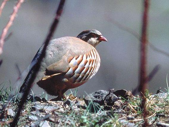 oiseaux-du-mercantour-patagon_062