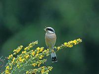 oiseaux-du-mercantour-patagon_064