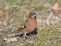oiseaux-du-mercantour-patagon_065
