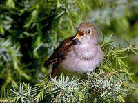 oiseaux-du-mercantour-patagon_070