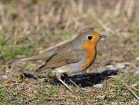 oiseaux-du-mercantour-patagon_072