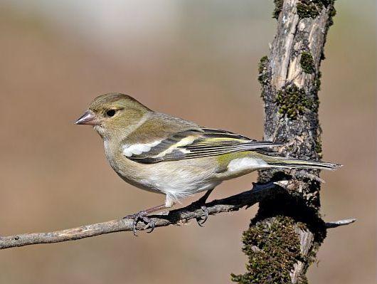 oiseaux-du-mercantour-patagon_066