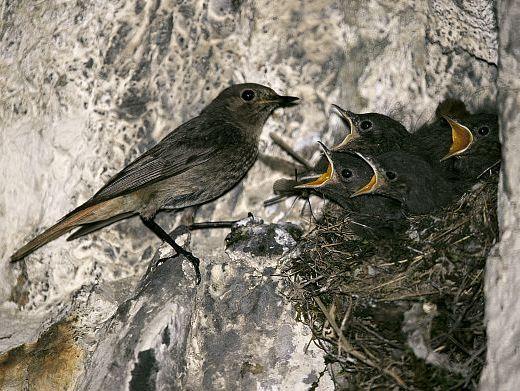 oiseaux-du-mercantour-patagon_073