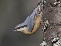 oiseaux-du-mercantour-patagon_074