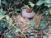 oiseaux-du-mercantour-patagon_063