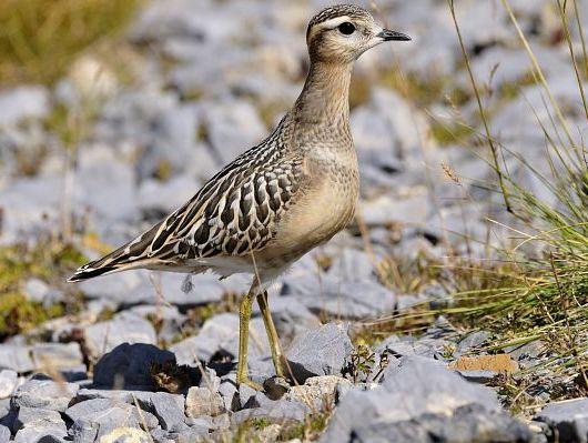 oiseaux-du-mercantour-patagon_068