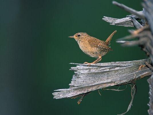 oiseaux-du-mercantour-patagon_080