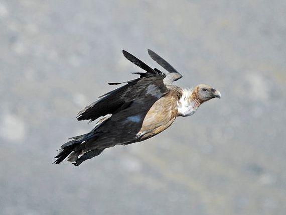 oiseaux-du-mercantour-patagon_081